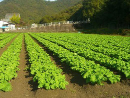 2011年12月15日菜の花畑