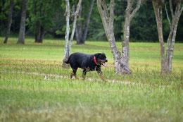 un chien de race rottweiler courre dans un pré vert sous des arbres ar coachcanin 16 educateur canin en charente à domicile et sur son terrain
