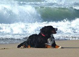 Un bouvier bernois couché sur le sable d'une plage par coach canin 16 educateur canin à domicile