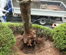 枯木の撤去