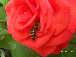 любим в розах покопаться