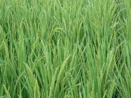 稲作中心の農耕民族
