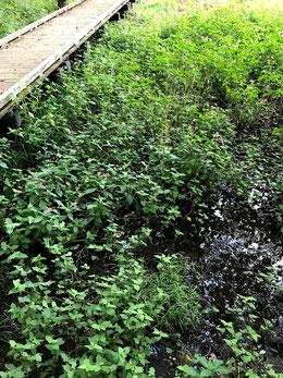 水辺に咲くツリフネソウ