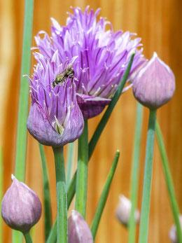 Blühender Schnittlauch Bienen