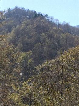 朝日鉱泉前のブナの木も芽吹き出しました。