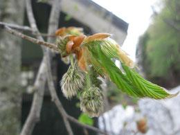 ブナの花②