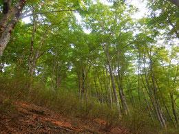▲登り途中に非常に美しい若いブナの森