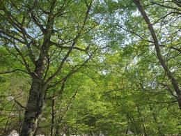 ブナの萌木色の葉っぱ