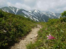 ▲小朝日岳山頂付近では、ヒメサユリの道がもうすぐできそうです。ヒメサユリと大朝日岳を1つのカットに入れることのできる貴重な撮影場所です。