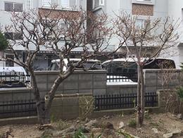 開花前の桜と梅 4月24日