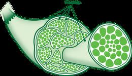 Die Faszien sind das Bindegewebe, das jede Muskelfaser, jedes Muskelbündel und jedes Organ umschließt.