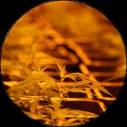 Arbeiterin beim CBD Cannabis Mutterpflanze pflegen