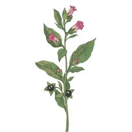 Belladonna, Heilpflanze, Tollkirsche
