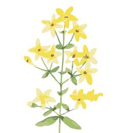 Hypericum, Johanniskraut, Heilpflanze
