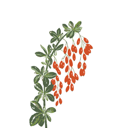 Berberis, Berberitze, heilpflanze
