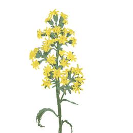 Solidago, Echte Goldrute, Heilpflanze
