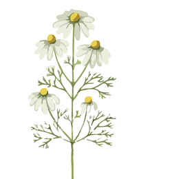 Heilpflanze, Chamomilla, Mutterkraut