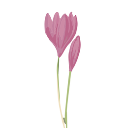 Colchicum, Herbstzeitlose, Heilpflanze
