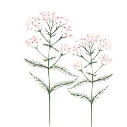 Millefollium, Schafgarbe, Heilpflanze