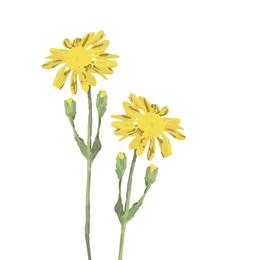 Arnika, Bergwohlverleih, Heilpflanze