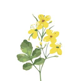 Chelidonium, Schöllkraut, Heilpflanze