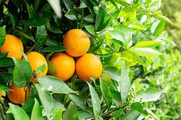 たわわに実ったオレンジ