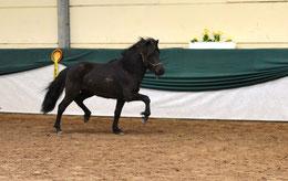 Mósart beim Ponyforum 2016 in Standenbühl