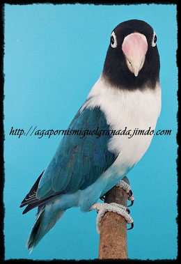personatus  Blue pied Violet Df y Sf, personata arlequín azul violeta Sf y Df
