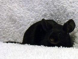 souris extrem black