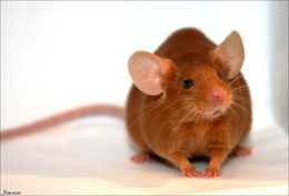 souris red