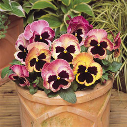 фото с сайта www.panamseed.com