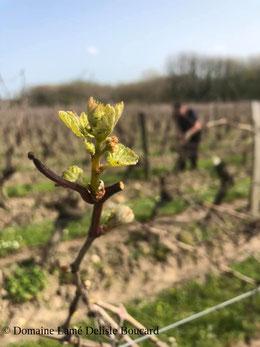 bourgeon-dans-les-vignes-de-Bourgueil-Vallee-de-la-Loire