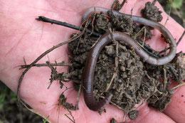 Regenwurm: wertvoller Helfer in einem gesunden Garten (Dagmar Schülke)