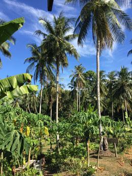ronnys-organic-coffee-koh-chang-thailand