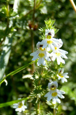 Euphrasia Pflanze