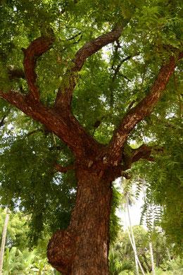 Bild eines Moringa Baums
