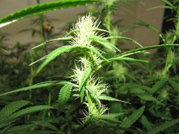 Cannabis Hanfpflanze seit ca. 3 Wochen in der Blüte
