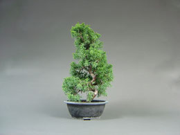 Chin. Wacholder, Juniperus chinensis, Import - Bonsai aus Korea ( Rohling )