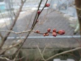 梅の蕾が色づいてきました。春の気配❤
