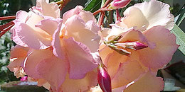 OLEANDER HAUS  Oleander Sorten