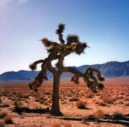 Anton Corbijn entdeckte den einsamen Joshua Tree weit entfernt vom gleichnamigen Nationalpark (Foto von 1994)