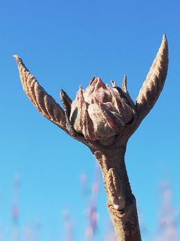 wolliger Schneeball (Viburnum lantana)