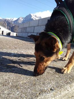 Hund Bugs schnüffelt am Boden