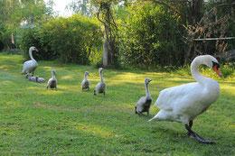 Schwanenfamilie zum Weiden auf der Wiese.