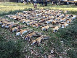 Fuchsstrecke des Jagdvereins Hubertus Gießen