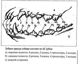 зубная система собаки