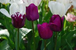 Tulpen 'Purissima', 'Rem's favorite' und 'Negrita'
