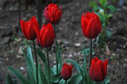 Historische Triumph-Tulpe 'Couleur Cardinal'