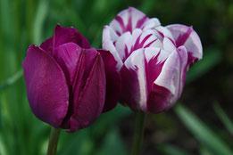 Tulpen 'Rem's favorite' und 'Negrita'