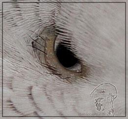 Federkranz von Galadriels Auge